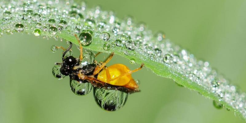 bee covered in dew drops