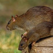 rodents on log