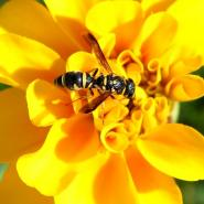 yellow jacket on flower